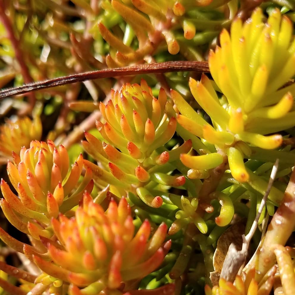 sedum, close up